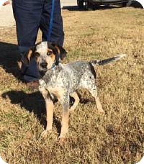 Hound (Unknown Type)/Australian Cattle Dog Mix Puppy for adoption in Spring Valley, New York - Debbie