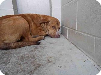 Labrador Retriever Mix Dog for adoption in Rosenberg, Texas - A010785