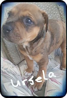 Catahoula Leopard Dog/Boxer Mix Puppy for adoption in Palm Bay, Florida - Ursula ready 7/13/17