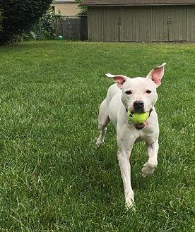 Pit Bull Terrier/Labrador Retriever Mix Dog for adoption in Fulton, Missouri - Donnie - New Jersey