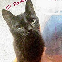 Domestic Shorthair Cat for adoption in York, Pennsylvania - Lil' Raven (Petite)