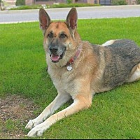 German Shepherd Dog Dog for adoption in Denver, Colorado - Roman T