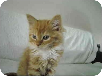 Domestic Longhair Kitten for adoption in Riverside, Rhode Island - Cassie