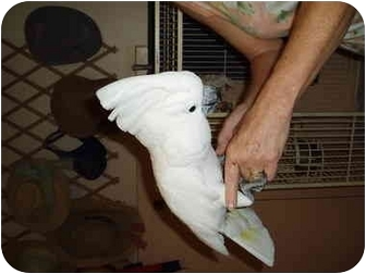 Cockatoo for adoption in Fountain Valley, California - Baby