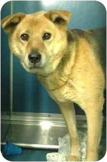 German Shepherd Dog Mix Dog for adoption in Staten Island, New York - Tara