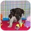Photo 1 - Australian Cattle Dog/Cattle Dog Mix Puppy for adoption in Broomfield, Colorado - Sharon Stone