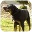 Photo 3 - Rottweiler Dog for adoption in Seattle c/o Kingston 98346/ Washington State, Washington - Miles