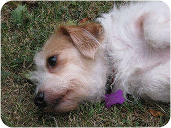 Jack Russell Terrier/Schnauzer (Miniature) Mix Dog for adoption in Troy, Ohio - Maggs~Adopted