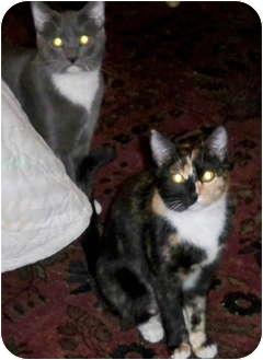 American Shorthair Kitten for adoption in Simi Valley, California - 3 Kittens and Mom