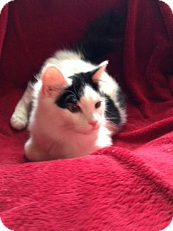 American Bobtail Kitten for adoption in Simpsonville, South Carolina - Timmy
