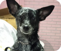 Chihuahua Dog for adoption in St. Petersburg, Florida - Pepper