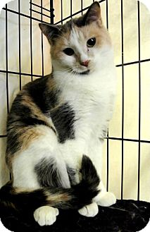 Domestic Shorthair Cat for adoption in Chisholm, Minnesota - Dorothy