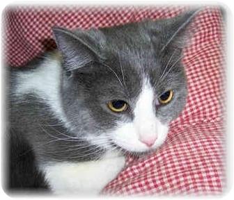 Domestic Shorthair Cat for adoption in Brighton, Michigan - Zena