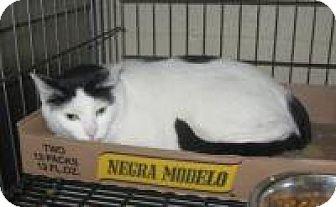 Domestic Shorthair Cat for adoption in Stillwater, Oklahoma - Noel