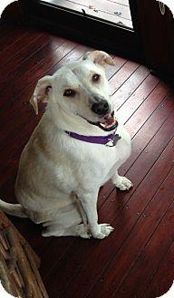 Labrador Retriever Mix Dog for adoption in Brattleboro, Vermont - TJ