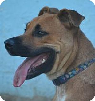 Shepherd (Unknown Type)/Boxer Mix Dog for adoption in Jacksonville, Arkansas - Cricket