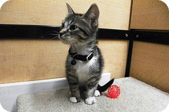 Domestic Shorthair Kitten for adoption in Riverside, California - Rusty