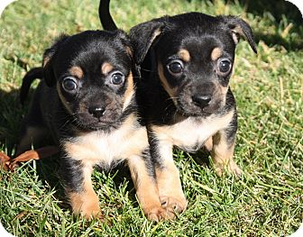 Terrier (Unknown Type, Small)/Spaniel (Unknown Type) Mix Puppy for adoption in Henderson, Nevada - Peggy's Boys