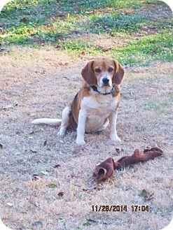 Beagle Dog for adoption in Portland, Maine - Cody Wayne