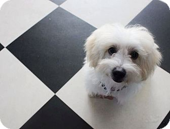 Poodle (Toy or Tea Cup)/Maltese Mix Puppy for adoption in Santa Barbara, California - Max