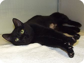 Domestic Shorthair Cat for adoption in Cheboygan, Michigan - Piper