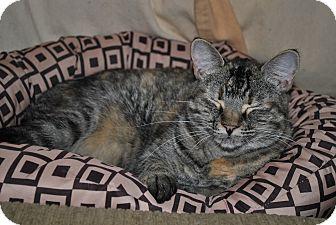 Domestic Shorthair Cat for adoption in Hurricane, Utah - Peppermint Patti