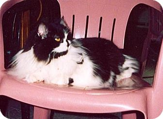 Domestic Mediumhair Cat for adoption in Wakefield, Massachusetts - Miranda