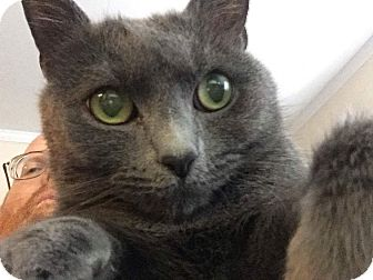 Domestic Shorthair Cat for adoption in Gainesville, Virginia - Nubs