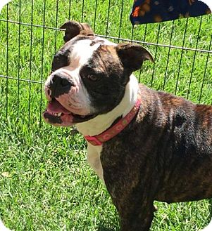 Boxer Mix Dog for adoption in Chico, California - BONNIE