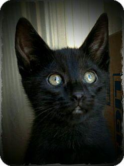 Domestic Shorthair Kitten for adoption in Pueblo West, Colorado - Mylene