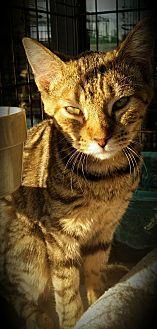Domestic Shorthair Kitten for adoption in Fairborn, Ohio - Kimmie