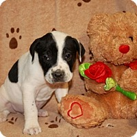 Adopt A Pet :: Belichick - Salem, NH
