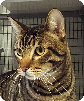 Domestic Shorthair Cat for adoption in Grants Pass, Oregon - Tiger