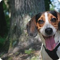 Adopt A Pet :: Apple - New Castle, PA