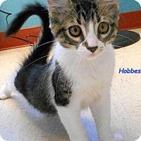 Adopt A Pet :: Hobbes - Oskaloosa, IA
