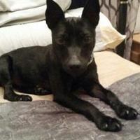 Adopt A Pet :: Dizzy - Richmond, VA