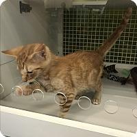 Domestic Shorthair Kitten for adoption in millville, New Jersey - rockette