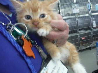 Domestic Longhair/Domestic Shorthair Mix Cat for adoption in Fort Worth, Texas - 34884971