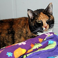 Domestic Shorthair Cat for adoption in Martinsville, Indiana - Frisky