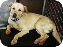 Labrador Retriever Dog for adoption in North Benton, Ohio - # 11 Ceasar Urgent