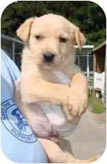 Labrador Retriever/Shepherd (Unknown Type) Mix Puppy for adoption in Hammonton, New Jersey - Pooh