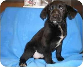 Labrador Retriever Mix Puppy for adoption in Mobile, Alabama - Superbowl