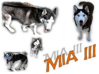 Siberian Husky Dog for adoption in Seminole, Florida - Mia III