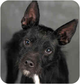 Wirehaired Fox Terrier/Schnauzer (Miniature) Mix Dog for adoption in Chicago, Illinois - Buddy