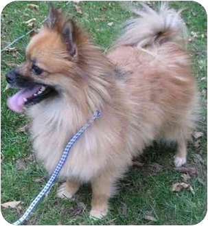 Pomeranian/Chihuahua Mix Dog for adoption in Mt. Prospect, Illinois - Chip