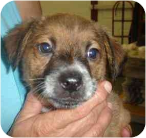 Shepherd (Unknown Type) Mix Puppy for adoption in Old Bridge, New Jersey - Amore
