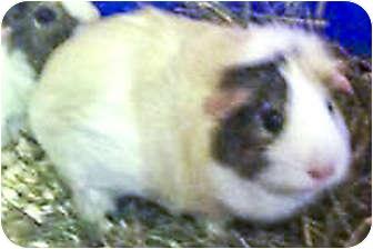 Guinea Pig for adoption in Fullerton, California - Pudding