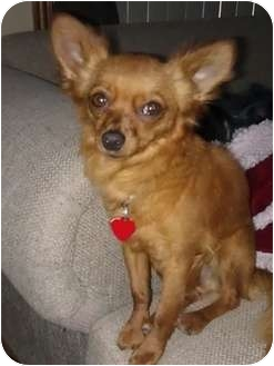 Chihuahua Mix Dog for adoption in Phoenix, Arizona - Drew