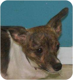 Chihuahua Mix Dog for adoption in Decatur, Illinois - Gabbi