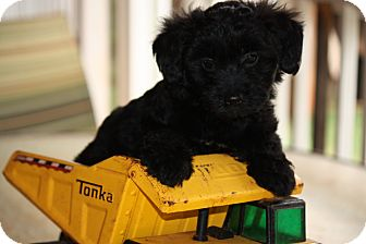 Maltese/Portuguese Water Dog Mix Puppy for adoption in Prince William County, Virginia - Braden